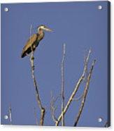 Blue Heron 28 Acrylic Print