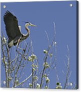 Blue Heron 35 Acrylic Print by Roger Snyder