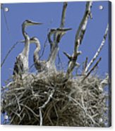 Blue Heron 36 Acrylic Print by Roger Snyder