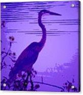 Blue Heron... Acrylic Print