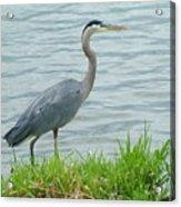 Blue Heron By The Lake Acrylic Print