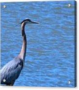Blue Heron Acrylic Print