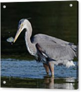Blue Heron - Fish By The Tail Acrylic Print