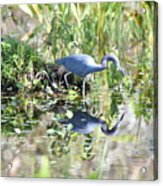 Blue Heron Fishing In A Pond In Bright Daylight Acrylic Print