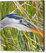 Blue Heron Hunting Acrylic Print