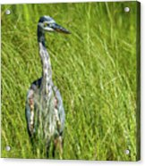 Blue Heron In A Marsh Acrylic Print