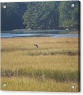 Blue Heron ...in Flight Acrylic Print
