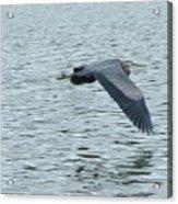 Blue Heron In Flight Acrylic Print
