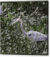 Blue Heron In Grass 4566 Acrylic Print