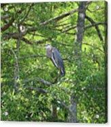 Blue Heron In Green Tree Acrylic Print