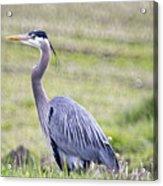Blue Heron In Northern Wa  Acrylic Print