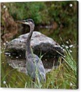 Blue Heron In River Acrylic Print