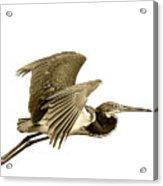 Blue Heron In Sepia Acrylic Print