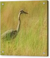 Blue Heron In The Grass. Acrylic Print