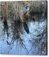Blue Heron. Acrylic Print