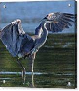 Blue Heron Show-off Acrylic Print