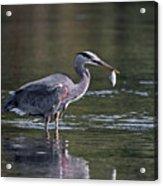 Blue Heron Snack Acrylic Print