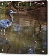 Blue Heron Stalking  Acrylic Print