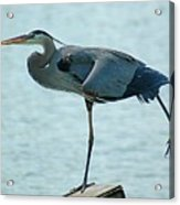 Blue Heron Stretching Acrylic Print