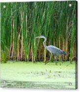 Blue Heron Taking A Walk Acrylic Print