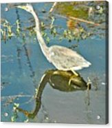 Blue Heron Walking Acrylic Print