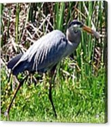 Blue Heron With Lunch Acrylic Print