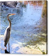 Blue Heron With Shadow Acrylic Print