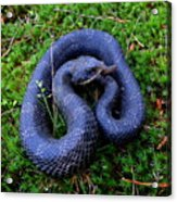 Blue Hognose Acrylic Print