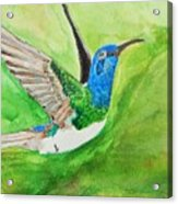 Blue Humming Bird Acrylic Print