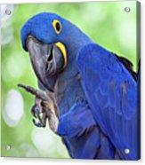 Blue Hyacinth Macaw Acrylic Print