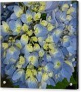 Blue Hydrangea Bouquet Acrylic Print