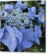 Blue Hydrangea Buds Acrylic Print