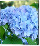 Blue Hydrangea Flowers Art Botanical Nature Garden Prints Acrylic Print