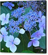 Blue Hydrangea Flowers Floral Art Baslee Troutman Acrylic Print