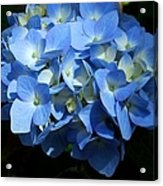 Blue Hydrangea II Acrylic Print