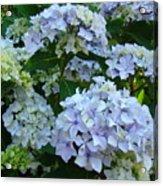 Blue Hydrangeas Art Prints Hydrangea Flowers Giclee Baslee Troutman Acrylic Print