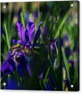 Blue Iris Field  Acrylic Print