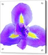 Blue Iris Flower Acrylic Print