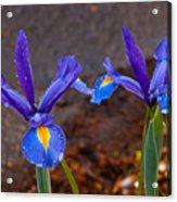Blue Iris Germanica Acrylic Print