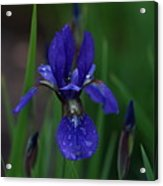 Blue Iris Petal Acrylic Print