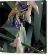 Blue Irises Past Their Prime Acrylic Print