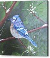Blue Jay 2 Acrylic Print
