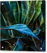 Blue Jay Agave Acrylic Print