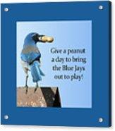 Blue Jay And A Peanut Acrylic Print