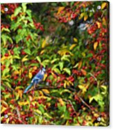Blue Jay And Berries Acrylic Print