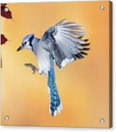 Blue Jay Beauty Acrylic Print