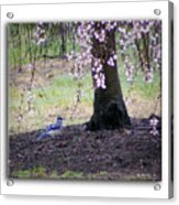 Blue Jay Acrylic Print