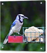 Blue Jay - Cyanocitta Cristata  Acrylic Print