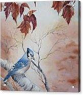 Blue Jay - Geai Bleu Acrylic Print