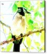 Blue Jay IIi Acrylic Print